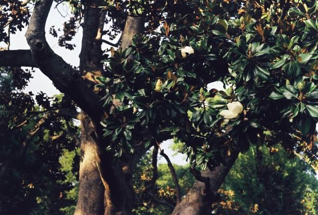Magnolia in Piedmont Park