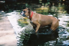 Bulldog in a Pond