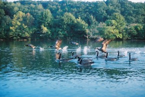 Canadian Geese Taking Off