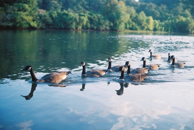 Canadian Geese on the Chattahoochee
