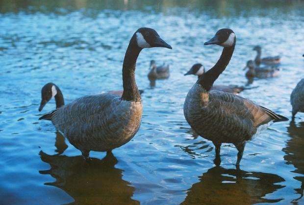 Surprised Geese
