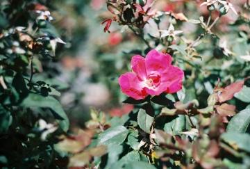Cherooke Rose