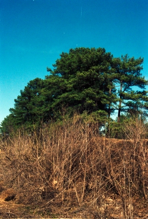 Pines by the Railroad Track